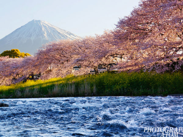 "This picture is made up of river, cherry blossoms, mountain. The lower side is a moving river. There is no light in the moving river. middle is cherry blossoms illuminated by the sunrise. And with cherry blossoms as the border The upper side is a silent Mountain. There is light in the silent Mountain. ""silent"" and ""move"" ""Light"" and ""dark"""